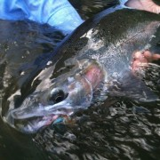 Bright summer steelhead caught on fishing guide trip