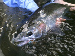 Summer Steelhead don't get much fresher, In july they are steaming!