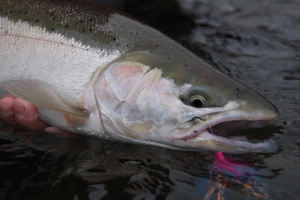 The first winter Steelhead of last year... who is going to be first this season?