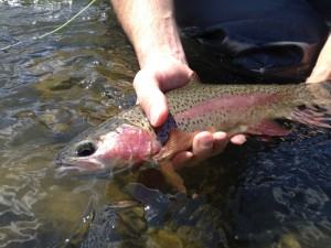 Some of those Redsides are not eating Salmon flies, this beauty fell for a yellow sally.