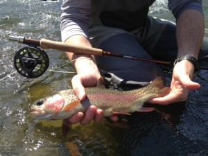 Not all fish came on dries. This sweet fish came on a small price dropper.