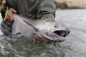 A dandy Chinook makes it way into the hands of a vwre