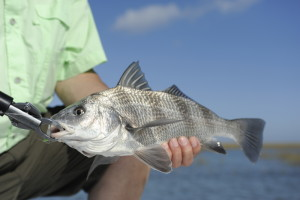 Nice Black Drum hidden in with the Reds.